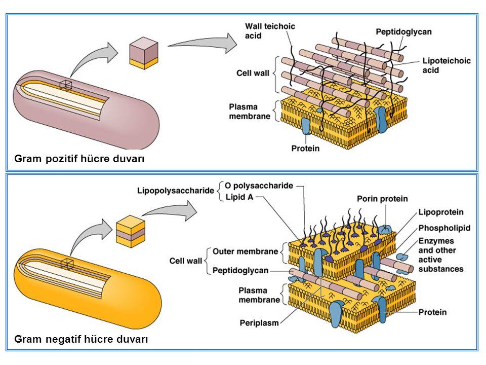 Gram negatif hücre duvarı Gram pozitif hücre duvarı