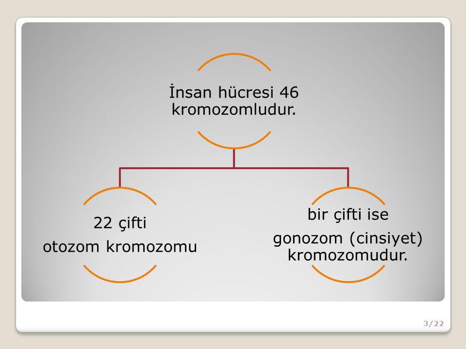 İnsan hücresi 46 kromozomludur.