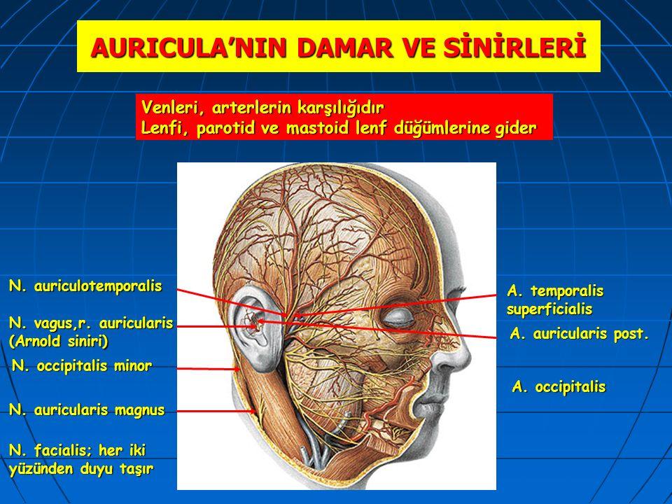 AURICULA'NIN DAMAR VE SİNİRLERİ N. auriculotemporalis N. occipitalis minor N. vagus,r. auricularis (Arnold siniri) N. auricularis magnus A. temporalis