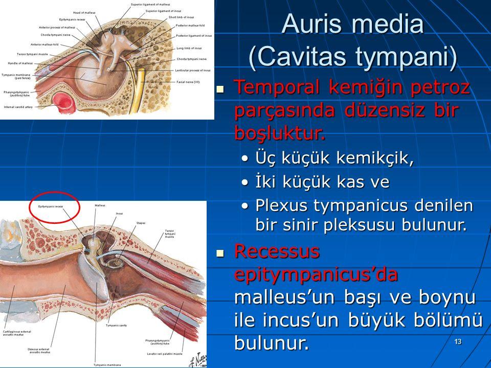 13 Auris media (Cavitas tympani) Temporal kemiğin petroz parçasında düzensiz bir boşluktur. Temporal kemiğin petroz parçasında düzensiz bir boşluktur.