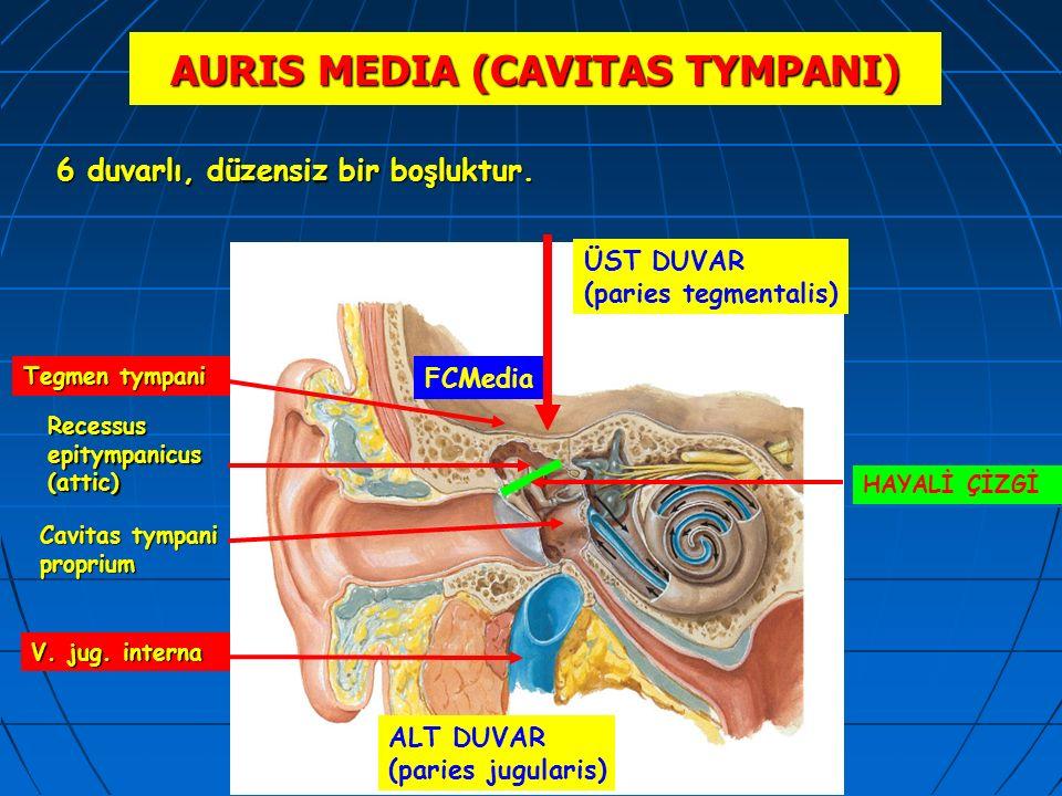 AURIS MEDIA (CAVITAS TYMPANI) Recessus epitympanicus (attic) Tegmen tympani FCMedia ÜST DUVAR (paries tegmentalis) V. jug. interna 6 duvarlı, düzensiz