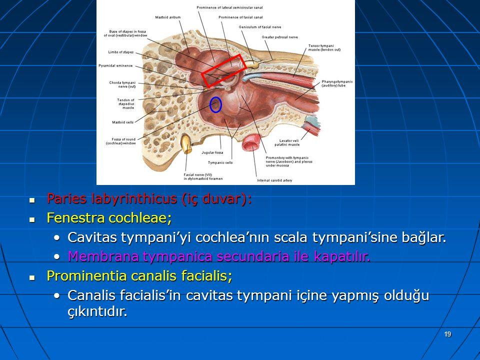 19 a Paries labyrinthicus (iç duvar): Paries labyrinthicus (iç duvar): Fenestra cochleae; Fenestra cochleae; Cavitas tympani'yi cochlea'nın scala tymp