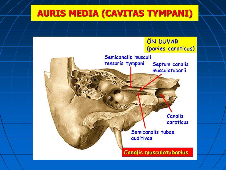 AURIS MEDIA (CAVITAS TYMPANI) ÖN DUVAR (paries caroticus) Semicanalis musculi tensoris tympani Canalis caroticus Semicanalis tubae auditivae Septum ca