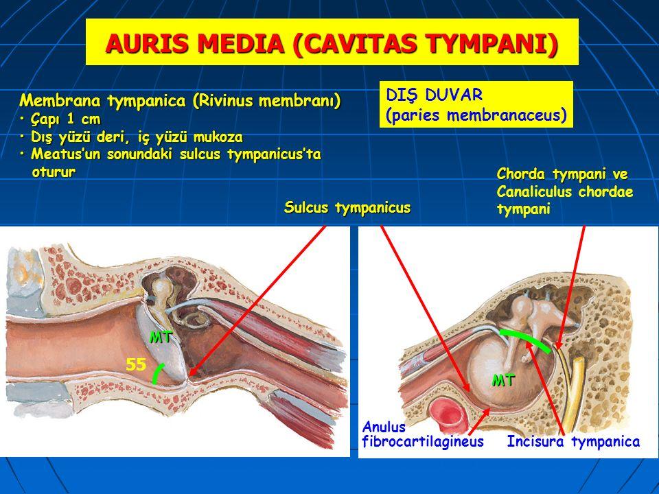 AURIS MEDIA (CAVITAS TYMPANI) DIŞ DUVAR (paries membranaceus) Incisura tympanica Chorda tympani ve Canaliculus chordae tympani 55 Membrana tympanica (