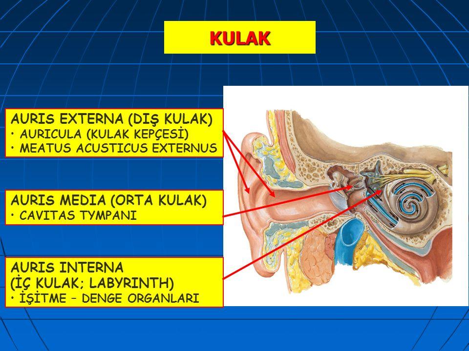 KULAK AURIS EXTERNA (DIŞ KULAK) AURICULA (KULAK KEPÇESİ) MEATUS ACUSTICUS EXTERNUS AURIS MEDIA (ORTA KULAK) CAVITAS TYMPANI AURIS INTERNA (İÇ KULAK; L
