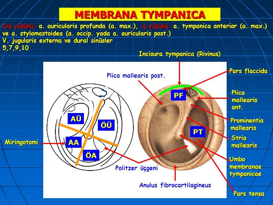 MEMBRANA TYMPANICA Anulus fibrocartilagineus Incisura tympanica (Rivinus) Plica mallearis ant. Plica mallearis post. PF PT Prominentiamallearis Umbo m