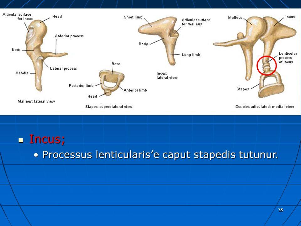 38 a Incus; Incus; Processus lenticularis'e caput stapedis tutunur.Processus lenticularis'e caput stapedis tutunur.