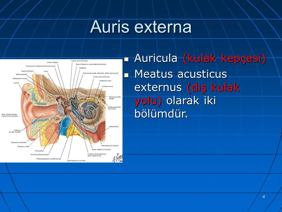 4 Auris externa Auricula (kulak kepçesi) Auricula (kulak kepçesi) Meatus acusticus externus (dış kulak yolu) olarak iki bölümdür. Meatus acusticus ext