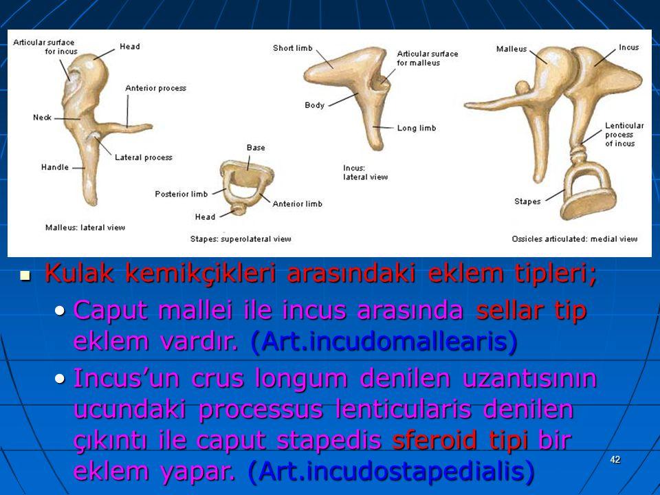 42 a Kulak kemikçikleri arasındaki eklem tipleri; Kulak kemikçikleri arasındaki eklem tipleri; Caput mallei ile incus arasında sellar tip eklem vardır
