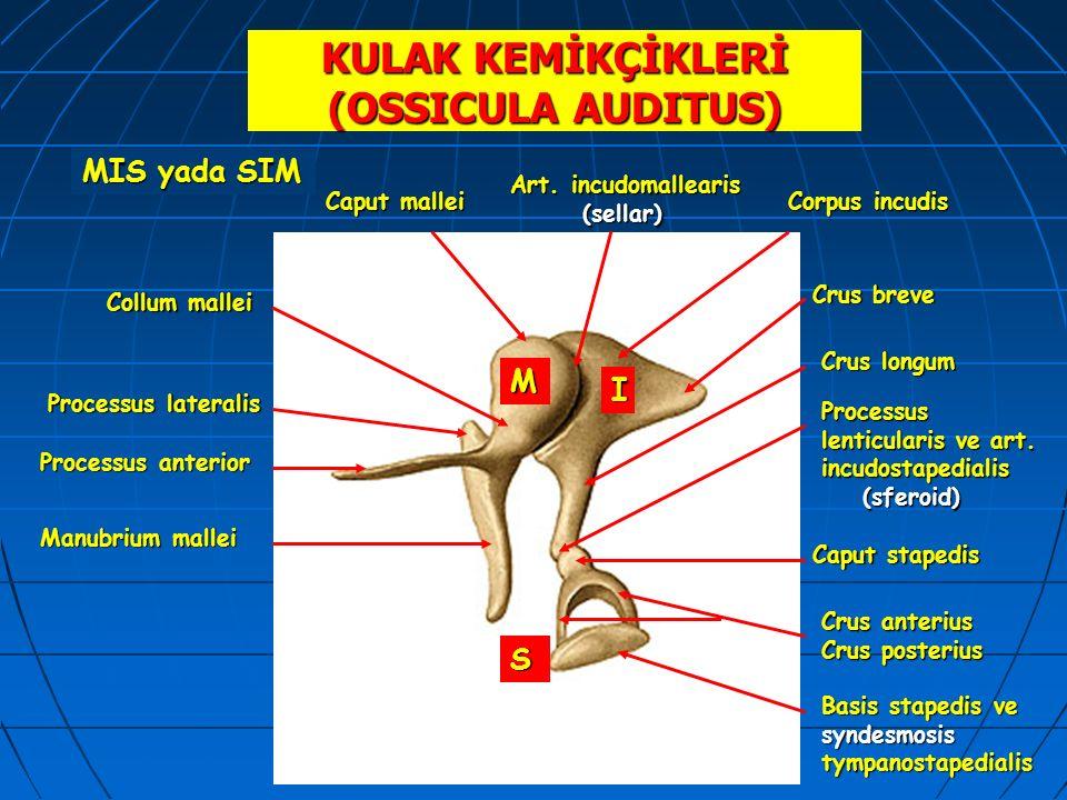 KULAK KEMİKÇİKLERİ (OSSICULA AUDITUS) MIS yada SIM M I S Caput mallei Collum mallei Processus anterior Manubrium mallei Processus lateralis Corpus inc