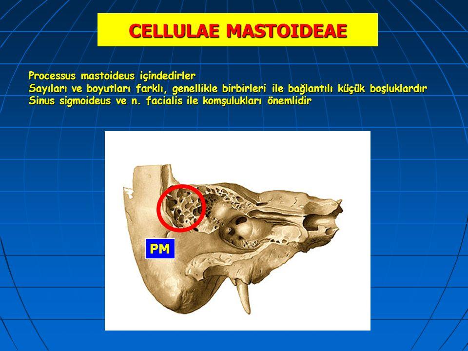 CELLULAE MASTOIDEAE Processus mastoideus içindedirler Sayıları ve boyutları farklı, genellikle birbirleri ile bağlantılı küçük boşluklardır Sinus sigm