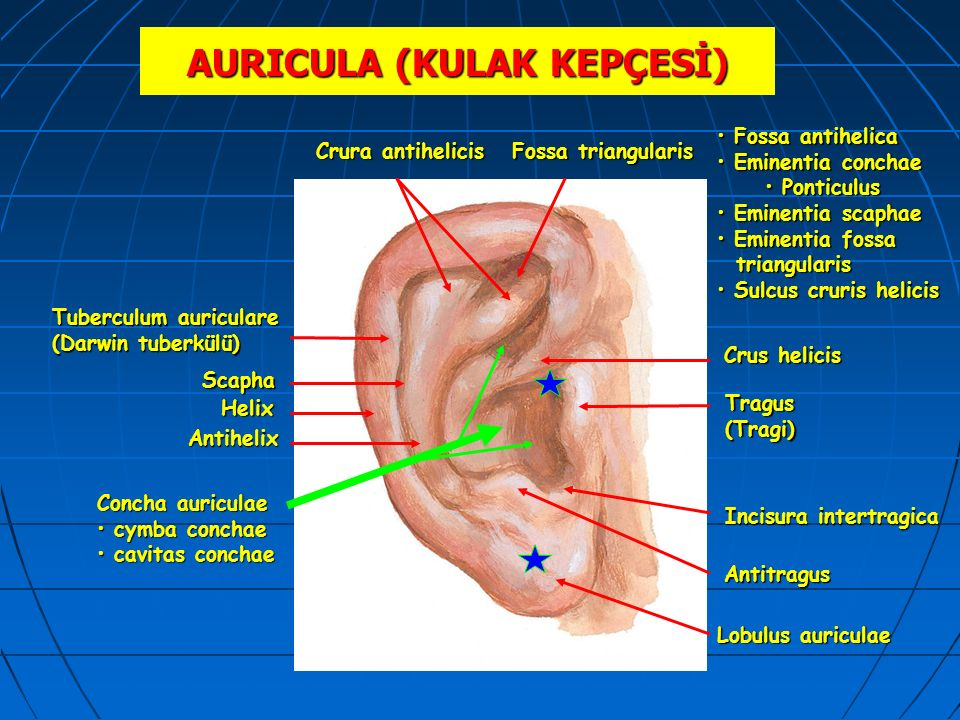 AURICULA (KULAK KEPÇESİ) Crura antihelicis Tuberculum auriculare (Darwin tuberkülü) Helix Fossa triangularis Tragus(Tragi) Antihelix Crus helicis Lobu