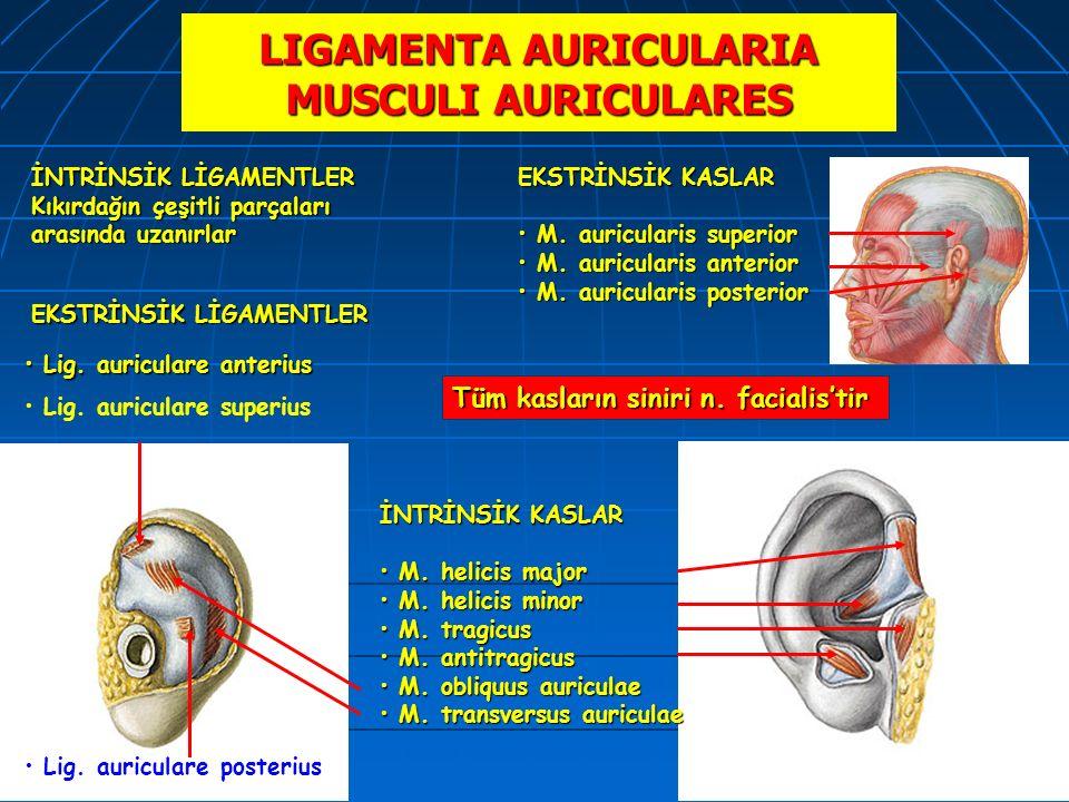 LIGAMENTA AURICULARIA MUSCULI AURICULARES Lig. auriculare anterius Lig. auriculare anterius EKSTRİNSİK KASLAR M. auricularis superior M. auricularis s