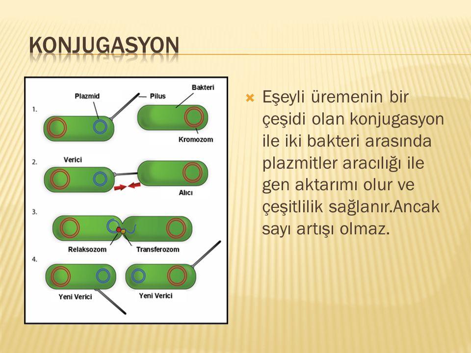  Eşeyli üremenin bir çeşidi olan konjugasyon ile iki bakteri arasında plazmitler aracılığı ile gen aktarımı olur ve çeşitlilik sağlanır.Ancak sayı ar