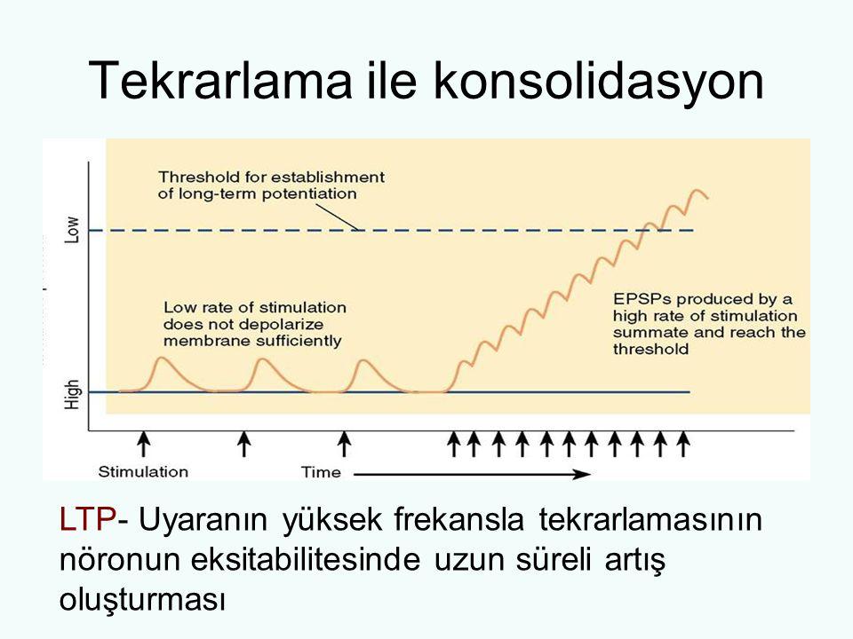 Tekrarlama ile konsolidasyon LTP- Uyaranın yüksek frekansla tekrarlamasının nöronun eksitabilitesinde uzun süreli artış oluşturması