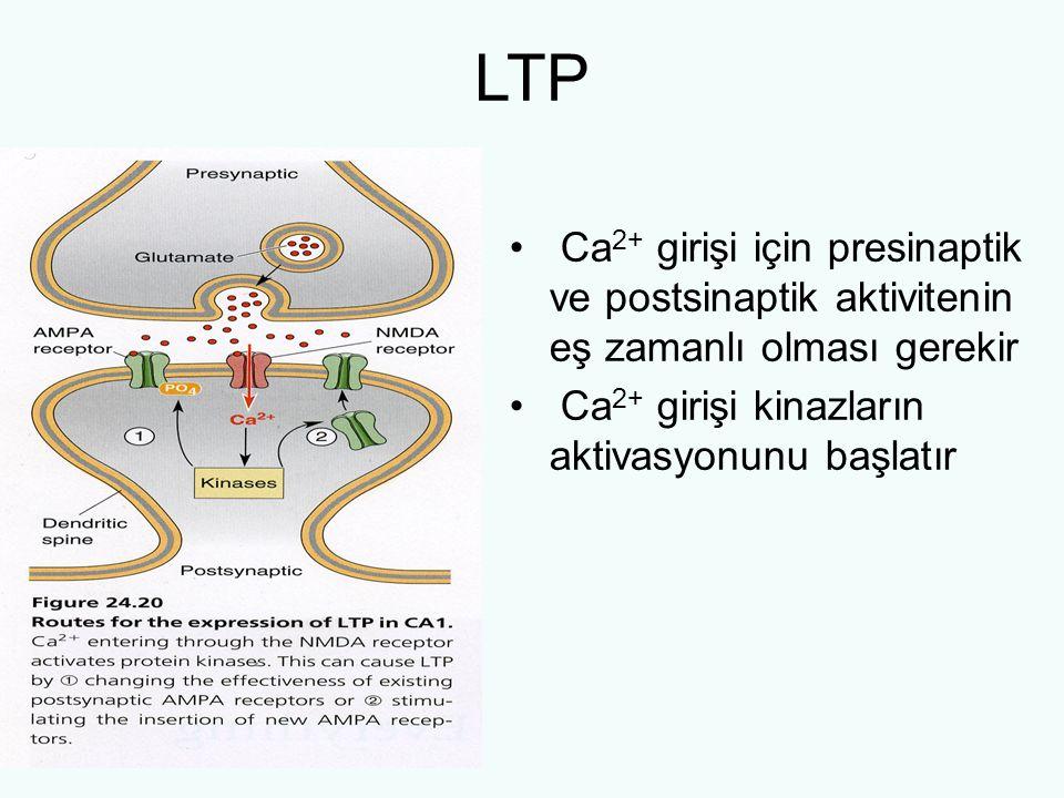 LTP Ca 2+ girişi için presinaptik ve postsinaptik aktivitenin eş zamanlı olması gerekir Ca 2+ girişi kinazların aktivasyonunu başlatır