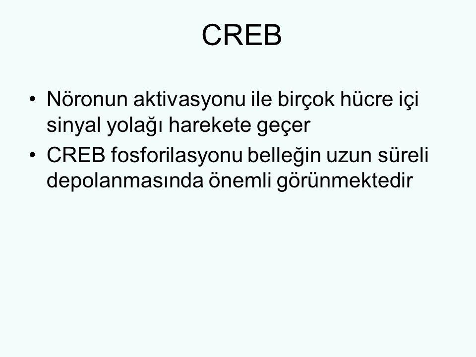 CREB Nöronun aktivasyonu ile birçok hücre içi sinyal yolağı harekete geçer CREB fosforilasyonu belleğin uzun süreli depolanmasında önemli görünmektedi