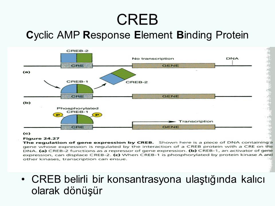 CREB Cyclic AMP Response Element Binding Protein CREB belirli bir konsantrasyona ulaştığında kalıcı olarak dönüşür
