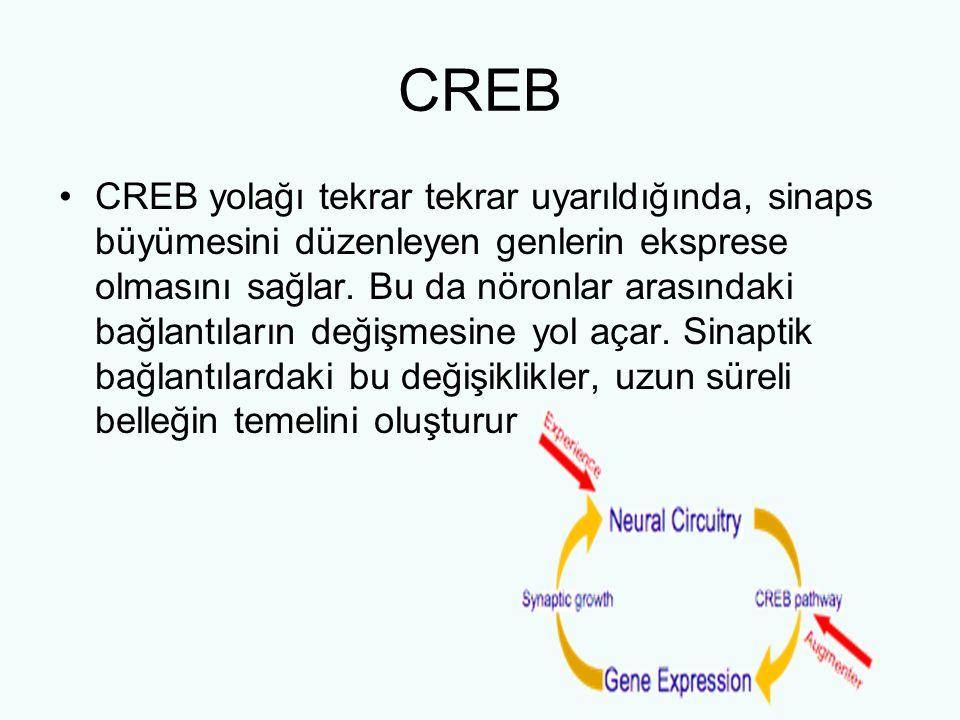 CREB CREB yolağı tekrar tekrar uyarıldığında, sinaps büyümesini düzenleyen genlerin eksprese olmasını sağlar. Bu da nöronlar arasındaki bağlantıların