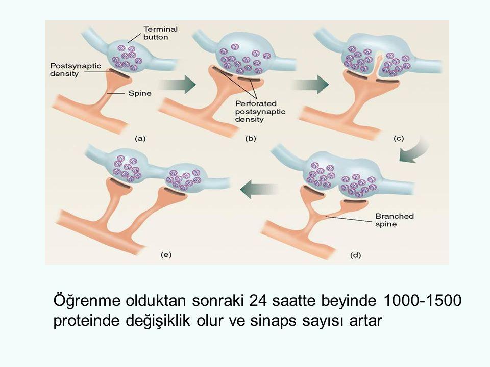 Öğrenme olduktan sonraki 24 saatte beyinde 1000-1500 proteinde değişiklik olur ve sinaps sayısı artar