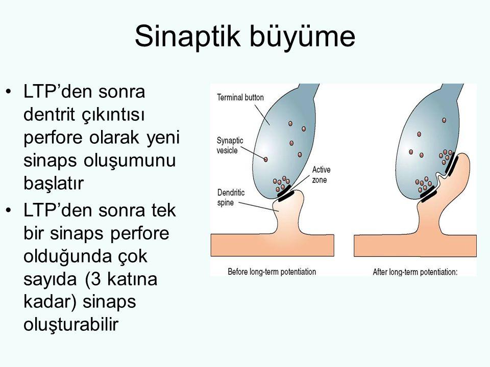 Sinaptik büyüme LTP'den sonra dentrit çıkıntısı perfore olarak yeni sinaps oluşumunu başlatır LTP'den sonra tek bir sinaps perfore olduğunda çok sayıda (3 katına kadar) sinaps oluşturabilir