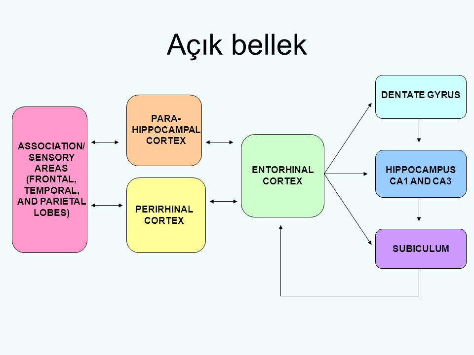 Açık bellek ASSOCIATION/ SENSORY AREAS (FRONTAL, TEMPORAL, AND PARIETAL LOBES) PARA- HIPPOCAMPAL CORTEX PERIRHINAL CORTEX ENTORHINAL CORTEX DENTATE GYRUS HIPPOCAMPUS CA1 AND CA3 SUBICULUM