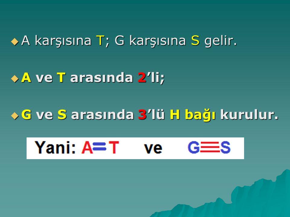  A karşısına T; G karşısına S gelir.  A ve T arasında 2'li;  G ve S arasında 3'lü H bağı kurulur.