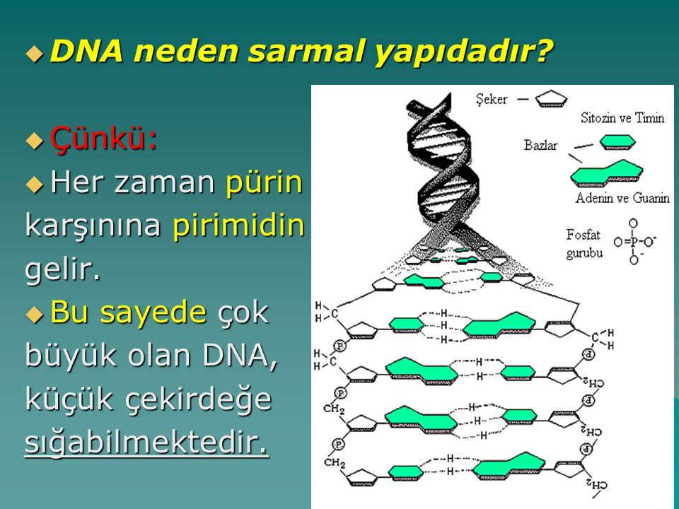  DNA neden sarmal yapıdadır?  Çünkü:  Her zaman pürin karşınına pirimidin gelir.  Bu sayede çok büyük olan DNA, küçük çekirdeğe sığabilmektedir.