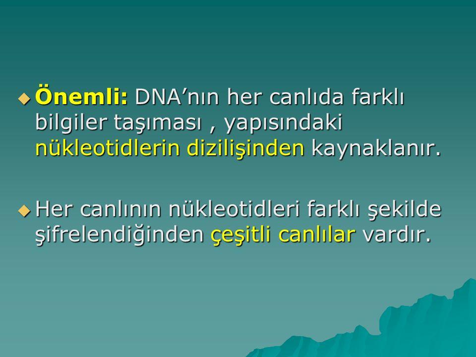  Önemli: DNA'nın her canlıda farklı bilgiler taşıması, yapısındaki nükleotidlerin dizilişinden kaynaklanır.  Her canlının nükleotidleri farklı şekil