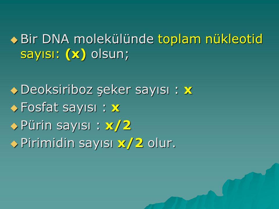  Bir DNA molekülünde toplam nükleotid sayısı: (x) olsun;  Deoksiriboz şeker sayısı : x  Fosfat sayısı : x  Pürin sayısı : x/2  Pirimidin sayısı x
