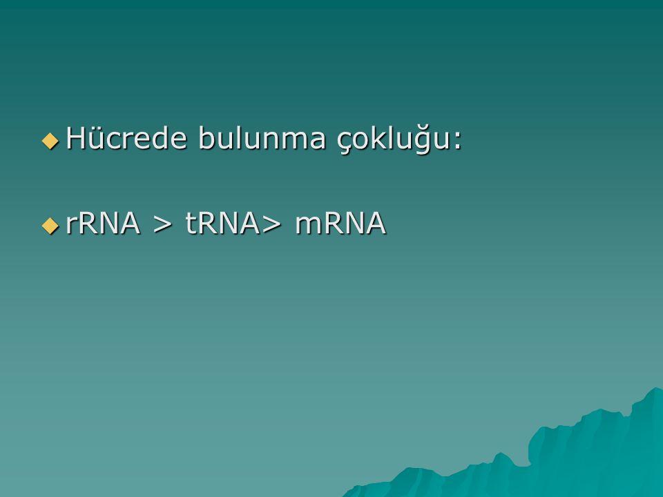  Hücrede bulunma çokluğu:  rRNA > tRNA> mRNA