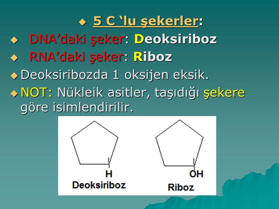  5 C 'lu şekerler:  DNA'daki şeker: Deoksiriboz  RNA'daki şeker: Riboz  Deoksiribozda 1 oksijen eksik.  NOT: Nükleik asitler, taşıdığı şekere gör