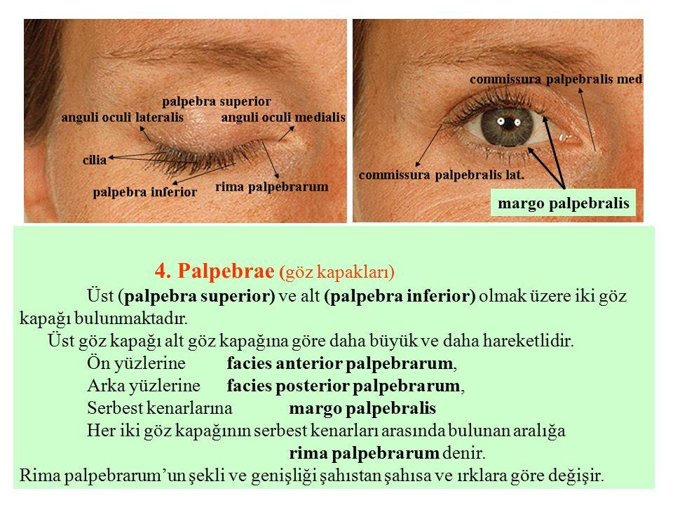 4. Palpebrae (göz kapakları) Üst (palpebra superior) ve alt (palpebra inferior) olmak üzere iki göz kapağı bulunmaktadır. Üst göz kapağı alt göz kapağ
