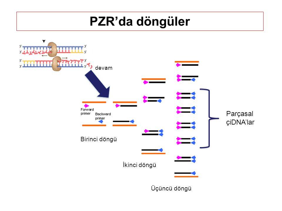 Birinci döngü İkinci döngü... Üçüncü döngü Parçasal çiDNA'lar PZR'da döngüler devam