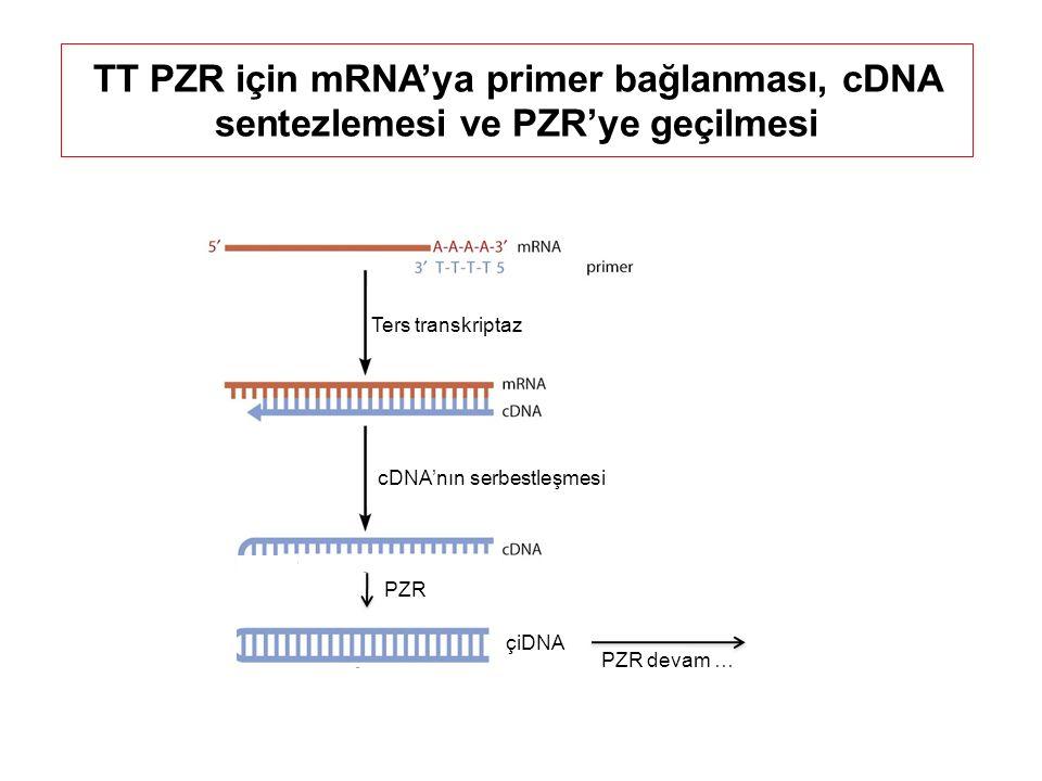 TT PZR için mRNA'ya primer bağlanması, cDNA sentezlemesi ve PZR'ye geçilmesi Ters transkriptaz cDNA'nın serbestleşmesi ……PZR PZR devam … çiDNA