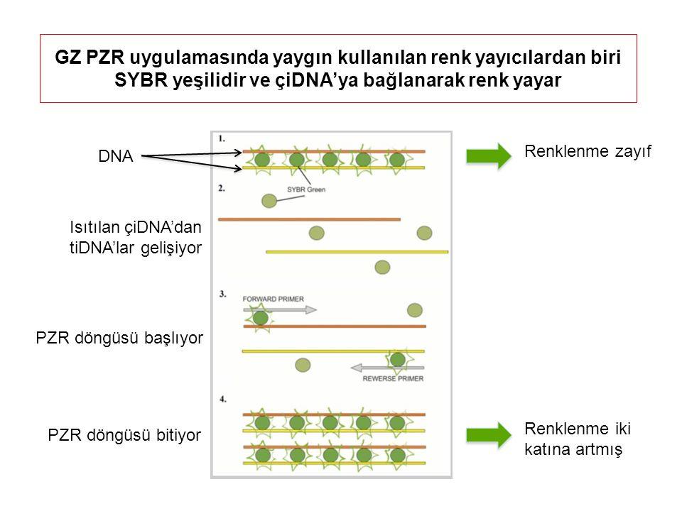 GZ PZR uygulamasında yaygın kullanılan renk yayıcılardan biri SYBR yeşilidir ve çiDNA'ya bağlanarak renk yayar PZR döngüsü başlıyor DNA Isıtılan çiDNA'dan tiDNA'lar gelişiyor PZR döngüsü bitiyor Renklenme zayıf Renklenme iki katına artmış
