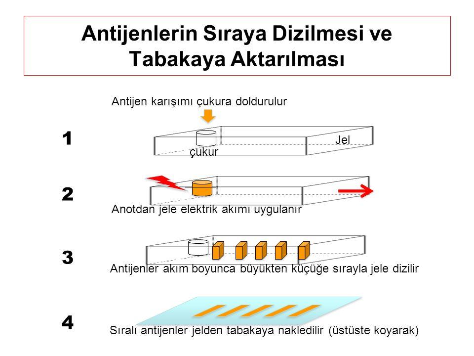 Antijenlerin Sıraya Dizilmesi ve Tabakaya Aktarılması Antijen karışımı çukura doldurulur Jel çukur Anotdan jele elektrik akımı uygulanır Antijenler akım boyunca büyükten küçüğe sırayla jele dizilir Sıralı antijenler jelden tabakaya nakledilir (üstüste koyarak) 1 2 3 4