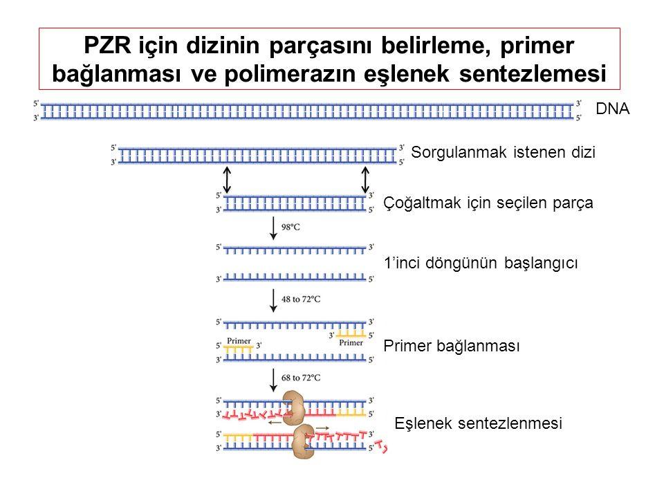 PZR için dizinin parçasını belirleme, primer bağlanması ve polimerazın eşlenek sentezlemesi DNA Çoğaltmak için seçilen parça Sorgulanmak istenen dizi Primer bağlanması Eşlenek sentezlenmesi 1'inci döngünün başlangıcı