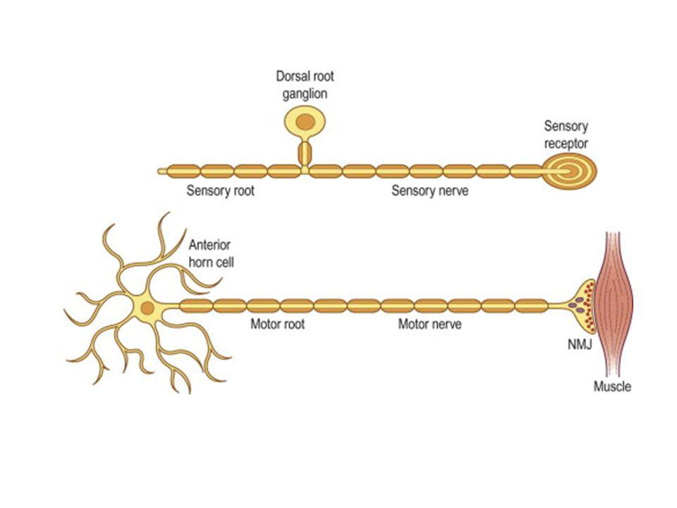 NegatifPozitif Kuvvet kaybıFasikulasyon HalsizlikKramp Hiporefleksi – arefleksiMyokimi HipotoniHuzursuz bacak Ortopedik deformiteler (pes cavus, çekiç parmak) Sertlik hissi Motor bulgular