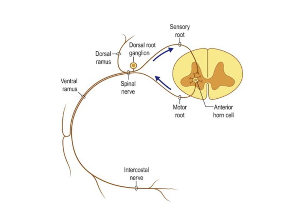Motor akson gövdesinin tutulumu = motor nöron hastalığı Duysal nöron gövdesinin tutulumu = arka kök ganglioniti Aksonopati Dying-back nöropati: Distalden proksimale ilerleyen aksonopati Myelinopati Segmental Uniform