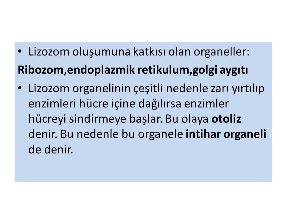 Lizozom oluşumuna katkısı olan organeller: Ribozom,endoplazmik retikulum,golgi aygıtı Lizozom organelinin çeşitli nedenle zarı yırtılıp enzimleri hücre içine dağılırsa enzimler hücreyi sindirmeye başlar.