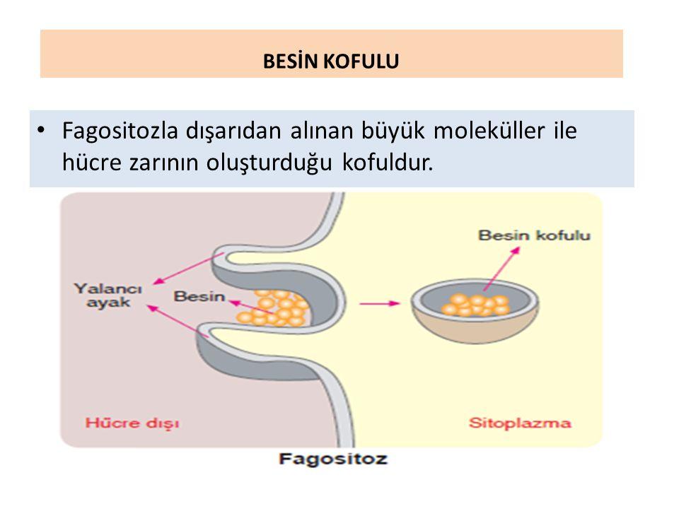 BESİN KOFULU Fagositozla dışarıdan alınan büyük moleküller ile hücre zarının oluşturduğu kofuldur.
