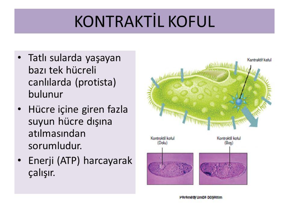 KONTRAKTİL KOFUL Tatlı sularda yaşayan bazı tek hücreli canlılarda (protista) bulunur Hücre içine giren fazla suyun hücre dışına atılmasından sorumludur.