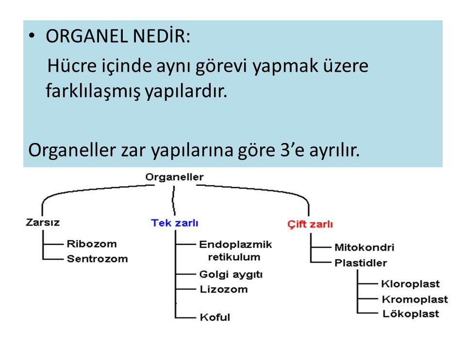 ORGANEL NEDİR: Hücre içinde aynı görevi yapmak üzere farklılaşmış yapılardır.