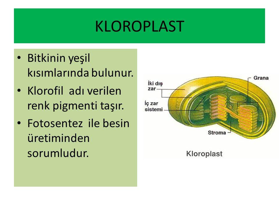 KLOROPLAST Bitkinin yeşil kısımlarında bulunur.Klorofil adı verilen renk pigmenti taşır.