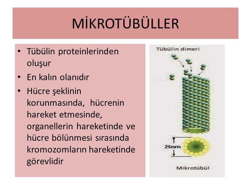 MİKROTÜBÜLLER Tübülin proteinlerinden oluşur En kalın olanıdır Hücre şeklinin korunmasında, hücrenin hareket etmesinde, organellerin hareketinde ve hücre bölünmesi sırasında kromozomların hareketinde görevlidir