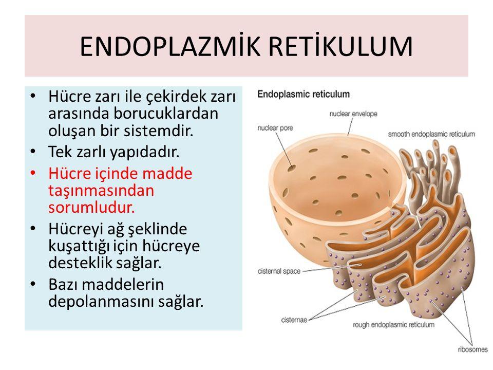 ENDOPLAZMİK RETİKULUM Hücre zarı ile çekirdek zarı arasında borucuklardan oluşan bir sistemdir.