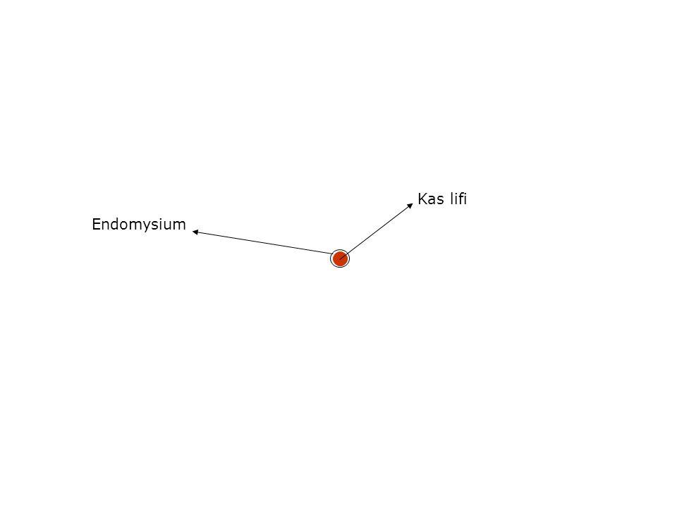 Endomysium Kas lifi