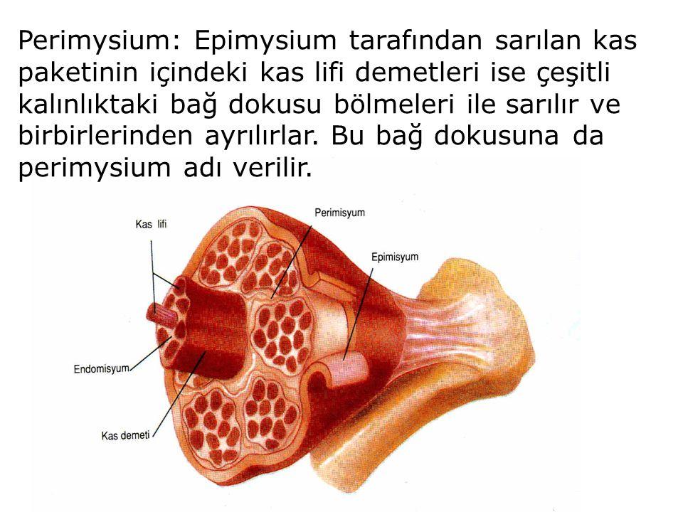 Perimysium: Epimysium tarafından sarılan kas paketinin içindeki kas lifi demetleri ise çeşitli kalınlıktaki bağ dokusu bölmeleri ile sarılır ve birbir