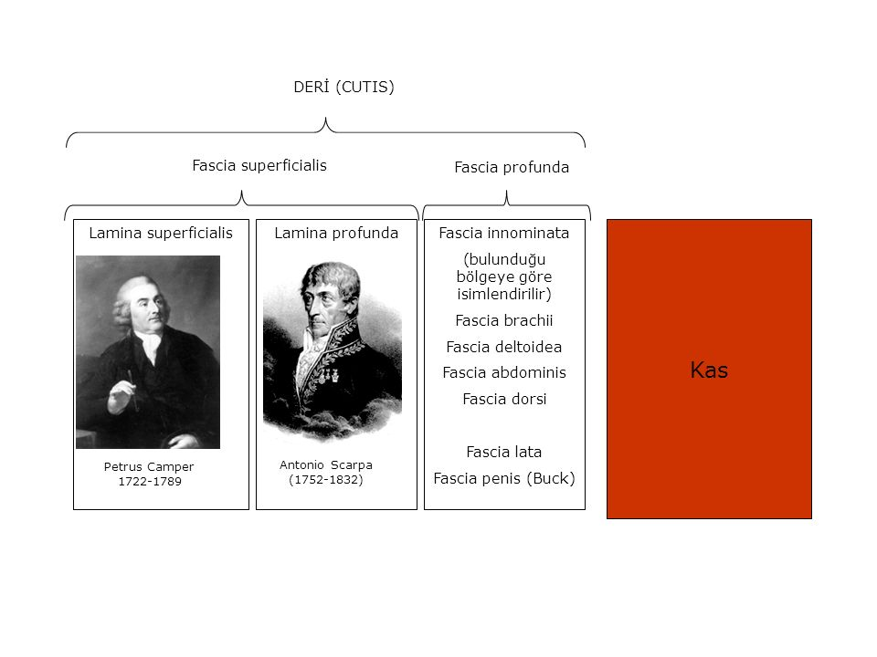 Petrus Camper 1722-1789 Antonio Scarpa (1752-1832) Lamina superficialisLamina profunda Fascia superficialis Fascia profunda Kas Fascia innominata (bul